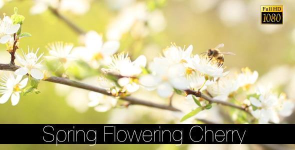 Spring Flowering Cherry 4