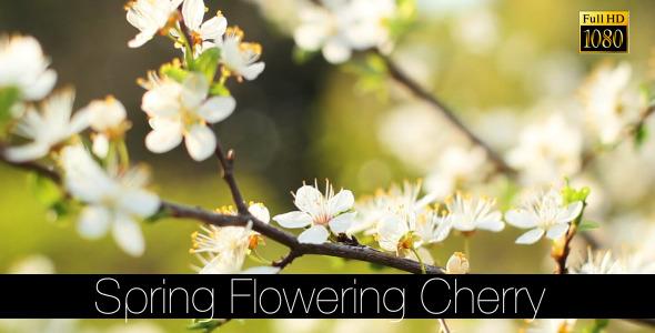 Spring Flowering Cherry 5