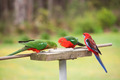 3 Crimson Rosella Feeding - PhotoDune Item for Sale