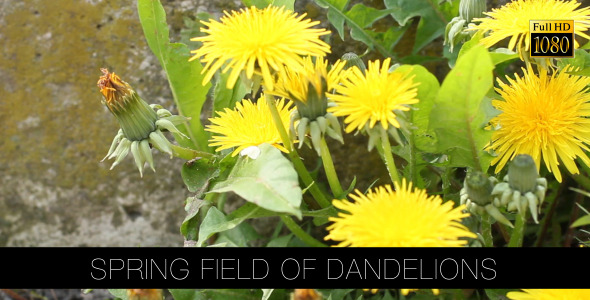 Spring Field Of Dandelions