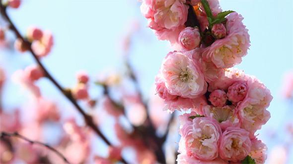 Blossom Pink Sakura Tree