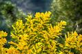 blooming mimosa - PhotoDune Item for Sale