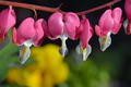 Pink bleeding hearts flowers - PhotoDune Item for Sale