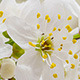 Wild Plum Flower Blossoming 1