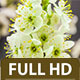 Wild Plum Flower On A Dark Background - VideoHive Item for Sale