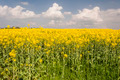 Bloomed Canola Field - PhotoDune Item for Sale