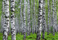 nice summer birch forest - PhotoDune Item for Sale