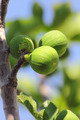 green figs on tree - PhotoDune Item for Sale