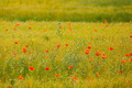 poppies in a field of flax - PhotoDune Item for Sale