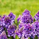 Purple Hyacinth In A Garden - PhotoDune Item for Sale