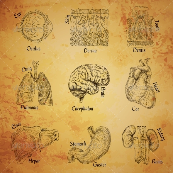 GraphicRiver Human Organs Sketch 7631722