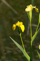 yellow iris - PhotoDune Item for Sale