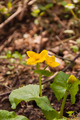 Caltha Palustris L. (Kingcup, Marsh Marigold) Bloomed in the Spring - PhotoDune Item for Sale
