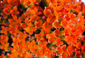 Kalanchoe - PhotoDune Item for Sale