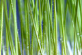 Cat grass  - PhotoDune Item for Sale