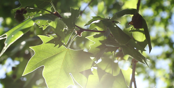 Sunshine Tree Leaves 01