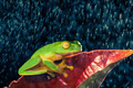 Little green tree frog sitting on red leaf - PhotoDune Item for Sale