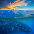 Whale shark below - PhotoDune Item for Sale