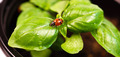 New Start PLant Sweet Basil Herb Leaf Ladybug Insect - PhotoDune Item for Sale