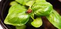 New Start PLant Sweet Basil Herb Leaf Ladybug Insect - PhotoDune Item for Sale