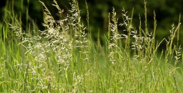 Green Grass Tips