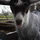 Small Goat - VideoHive Item for Sale