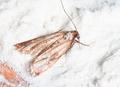 Flour Moth, Pantry Moth (Ephestia kuehniella) - PhotoDune Item for Sale
