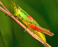 Grasshopper on a halm of grass in summer - PhotoDune Item for Sale