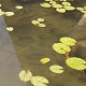 Many Fishs in Lotus Pond - VideoHive Item for Sale