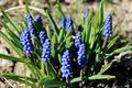 Some beautiful blue flowers of muscari - PhotoDune Item for Sale