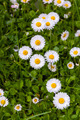 Asteraceae - Bellis perennis - PhotoDune Item for Sale