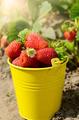 Strawberries in the bucket - PhotoDune Item for Sale
