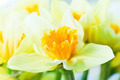 Macro image of spring flower, jonquil, daffodil. - PhotoDune Item for Sale