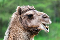 Bactrian camel portrait. Funny expression - PhotoDune Item for Sale