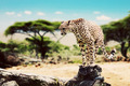 A wild cheetah about to attack. Safari in Serengeti, Tanzania, Africa. - PhotoDune Item for Sale