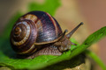 Snail walking on the leaf - PhotoDune Item for Sale