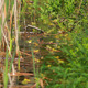 Frogs On Lake In Mating Season 3 - VideoHive Item for Sale