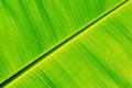 Fresh banana leaf - PhotoDune Item for Sale