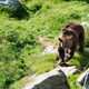Brown bear is posing on the rock - PhotoDune Item for Sale