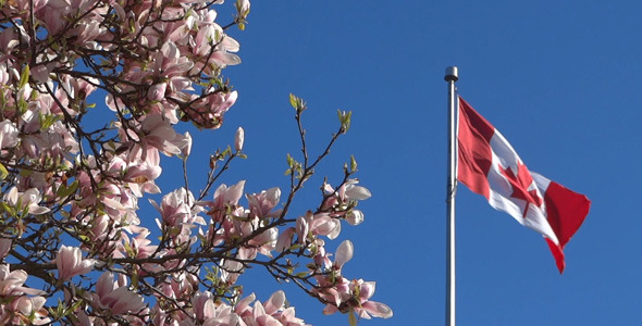 Canada Flag And Magnolia Flowers