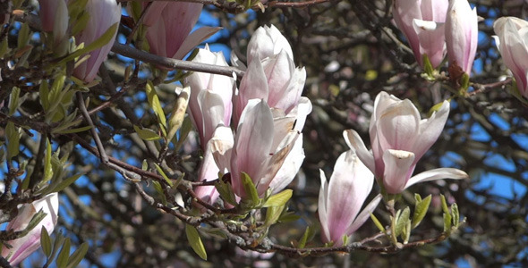 Magnolia Flowers On The Wind 03