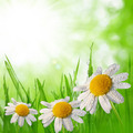 Dewy green grass with daisies - PhotoDune Item for Sale