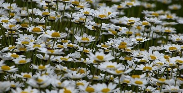 Daisies Leucanthemum Maximum 1