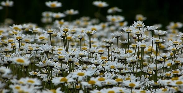 Daisies Leucanthemum Maximum 3