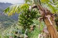 Banana tree at Madeira Island, Portugal - PhotoDune Item for Sale