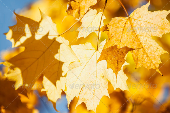 Glowing fall maple leaves - Stock Photo - Images