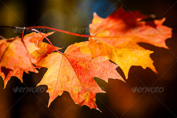 Red fall maple leaves - Stock Photo - Images