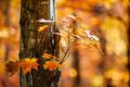 Orange fall maple - PhotoDune Item for Sale