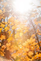 Sun in maple branches - PhotoDune Item for Sale