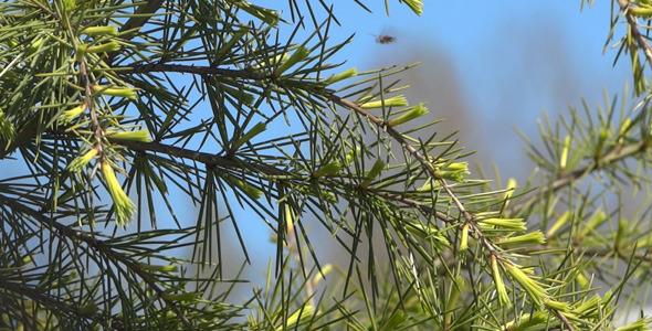 Fir Branches 08